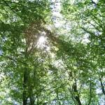 Bokskog i solljus